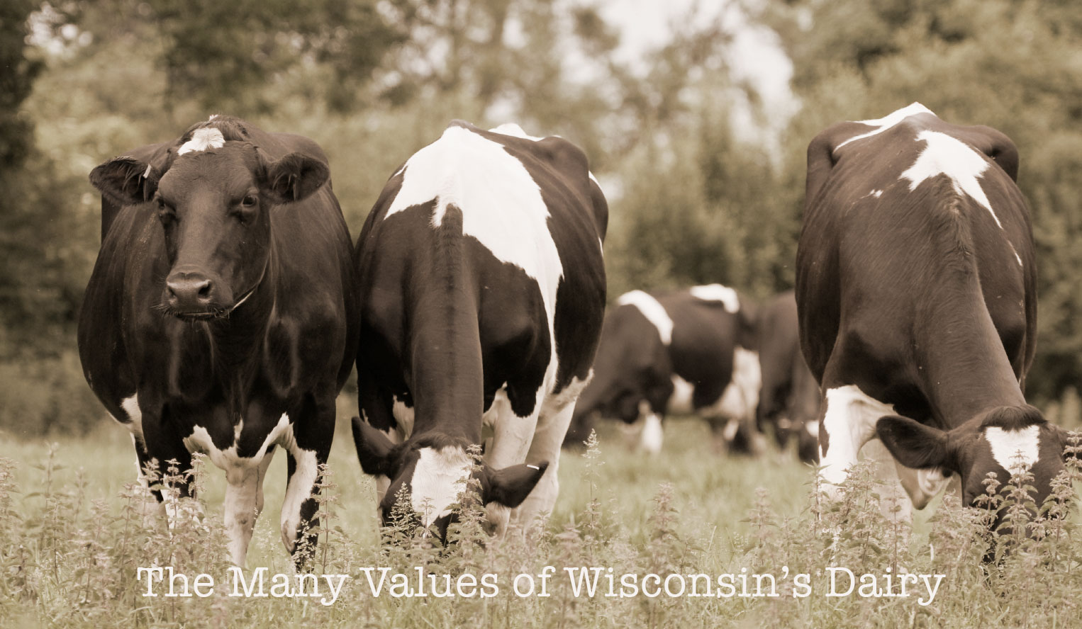 Dairy Cattle in Wisconsin